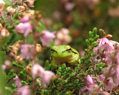 Boomkikkertje (Manon van der Burg) Tags: pink green treefrog boomkikker macro heide sx60 naturelover natuurfotografie canon powerrrrshot little tiny small natuurgebied enormgenoten dankbaar enjoyeverylittlething