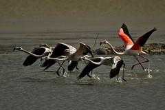 Fenicotteri Rosa / Flamingos Pink (Toby's Pictures) Tags: fenicottero rosa flamingos pink oasi wwf gabbianello uccelli uccello lago lake volo flight fly water adventure nature natura avventura