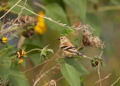 Finch83-13a (sknight56) Tags: finch minnesota canon bird wildlife
