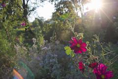 Contre-jour Cosmea (Notquiteahuman1) Tags: flowers floral backlit contrejour cosmea nikkor3570f28af flare sunstar ghosts nature meadow autumn