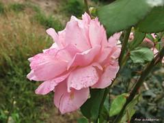 Rosa de setiembre...Explore.. (kirru11) Tags: rosa campo hieva flor setiembre quel larioja espaa kirru11 anaechebarria canonpowershot