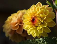Dahlias (The Crewe Chronicler) Tags: dahlia dahlias flower flowers nature garde gardening canon canon7dmarkii lseries lserieslens