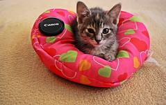 Ramona by Canon (Campanero Rumbero) Tags: cute home animal cat canon casa colombia bogota shot heart room pic gato felino ramon mirada corazon hijo tierno gatuno almohada