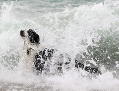 Engulfed! (meg price) Tags: sea summer dog water collie cornwall play sheepdog border wave bordercollie barney thelittledoglaughed
