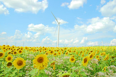 earth, wind and fire. or, the sunnier side of biodiesel re-re-visited. (snowdeal) Tags: usa plant flower field wisconsin sunflower turbine windturbine biodiesel organicvalley cashton croppcooperative
