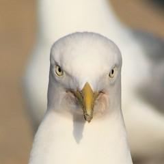 Portret van een meeuw, de hypnotiseur / portrait of a seagull: the hypnotist (Lex Eggink) Tags: sea portrait beach netherlands strand seagull zee portret meeuw hypnotist hypnotiseur eggsandink