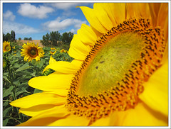 Landing on a sunflower (Ignacio Lizarraga) Tags: summer sunflower verano girasol zyber canons90 img5076124072