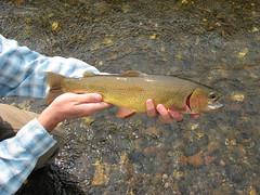 "Gorgeous 18"" cutthroat. • <a style=""font-size:0.8em;"" href=""http://www.flickr.com/photos/71082199@N06/7938238626/"" target=""_blank"">View on Flickr</a>"