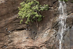 Cliffhanger (Saurav Pandey) Tags: india bird birds rock waterfall pigeon pigeons karnataka shivanasamudram shivansamudra framesbangalore