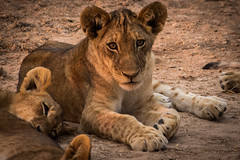 Lion Cubs Playing at Sunset (virtualwayfarer) Tags: africa cats cute nature animals cat wildlife lion safari lazy playful lioncub zambia africanbush wildlion alexberger virtualwayfarer