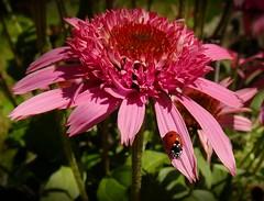 Echinacea Razzmatazz (fleckchen) Tags: pink flower echinacea natur blumen garten insekten käfer razzmatazz blüten marienkäfer sonnenhut photosandcalendar excellentsflowers sonnenhüte mimamorflowers panoramafotográfico theoriginalgoldseal hennysgardens