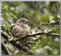 On the branch (HEFFO1) Tags: bird canon bush wildlife sparrow feed