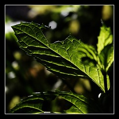 Who's been nibbling off myMint? (7knips) Tags: green leaf exercise bokeh blacklight grn photolog blatt spearmint gegenlicht minze sjt aufgabe gimpusers happyshooting hsluecke