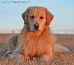 DSC_1699 - Version 2 (Janet Ayton) Tags: sunset dog pet canada animal closeup goldenretriever golden spring nikon retriever alberta brody grandeprairie nikkorlens ©allrightsreserved d7000 nikond7000