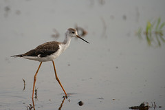 Black-Winged Stilt () (yannick_willener) Tags: birds uccelli vgel cavaliereditalia himantopushimantopus blackwingedstilt recurvirostridae cigeuelacomn stelzenlufer   chasseblanche pitkjalka thaibirds styltlpare bandsteltkluut pernilongodecostasnegras szczudak szczudak  styltelper hleggur iilabocianovit thailand2012 australskstyltelber pisilaponoh  pisilaponoh