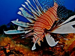 Lionfish in Bonaire (Jessi - Beneath the Surface) Tags: sea underwater diving snorkeling scubadiving caribbean marinelife photocontesttnc12