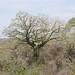 Árvore que está por toda a parte no litoral