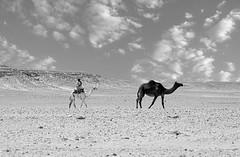 THE CAMEL MAN (SAUD ALRSHIAD) Tags: life camera old travel light shadow sky bw cloud sun white black sahara nature lines landscape sand nikon flickr shoot desert angle ngc arabic camel saudi arabia illustrator arabian sands saudiarabia arabi saud saudia    desret animul aldhana  landscab flickraward  d7000  nikonflickraward nikond7000 alrshiad  saudarshiad saudalrshiad