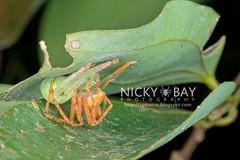 Huntsman Spiders (Gnathopalystes sp.) - DSC_3665 (nickybay) Tags: macro singapore mating huntsmanspider sparassidae riflerangeroad gnathopalystes