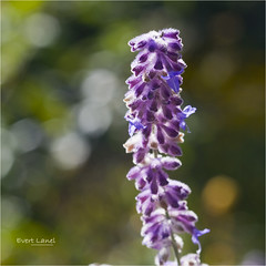 Lavender (Evert Lancel) Tags: summer sunlight flower bokeh lavender evert lancel ortrait