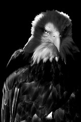Her Name is Samantha (SunnyDazzled) Tags: light shadow bw eye zoo mono eagle spirit wildlife baldeagle feathers bearmountain samantha recovery injured