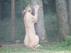 """Longleat Safari Park • <a style=""""font-size:0.8em;"""" href=""""http://www.flickr.com/photos/81195048@N05/8017607255/"""" target=""""_blank"""">View on Flickr</a>"""