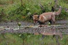 20122309 Fox and Lillies (machin1969) Tags: nature waterlily wildlife fox waterlillies uknature