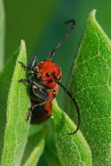 Red Milkweed Beetle (Tetraopes tetraophthalmus) (photographerp) Tags: macro bug insect kentucky wildlife beetle arthropod coleoptera symbiosis cerambycidae nikon105mmf28g anuran aposematic milkweedborer tetraopesfemoratus robertgundy peabodywma