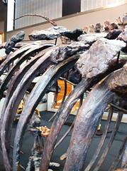 sept12 617 (raqib) Tags: history mobile museum skeleton fossil dinosaur naturalhistory bones monash prehistoric rc dinosaurs iphone prehistory schoolholiday schoolholidays monashsciencecentre