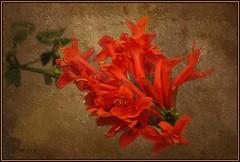 Tecomaria Capensis (Laralucy) Tags: flowers red texture nikon digitalart natura fiore rosso tecomariacapensis thegalaxy magicunicornverybest hennysgardens galleryoffantasticshots rememberthatmomentlevel1