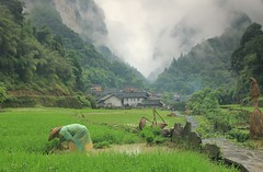 Planting Time (craigkass) Tags: china travel mountains asia rice farming hunan rurallife dehang ricefarming