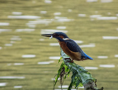 DSCF9432 Kingfisher (Steve_Herring) Tags: nature birds wildlife kingfisher thewonderfulworldofbirds fujifilmhs10 fujifilmfinepixhs10 highqualityanimals steveherringphotography