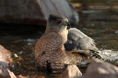 Cooper's Hawk (Accipiter cooperii) (Sharon's Bird Photos) Tags: bird nature water pond hawk wildlife northdakota bathing birdofprey coopershawk accipitercooperii supershot backyardbirding specanimal traillcounty avianexcellence dailynaturetnc12 httpbirdscornelledu photoofthedaynwf12