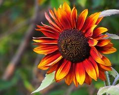 Autumn Sunflower (5of7) Tags: autumn fall sunflower flower one red yellow dof challengewinner tp20121008 bokeh right a3b nature tp20121108 cy2eligible duetosphotooftheday tp20121220 bdpc 20wins 10wins fav top20autumn canon powershot sx30 rural walk serene detail 10fav andromeda50bestofthebest outdoor 18fav agcgsweepwinner storybookwinner perpetualchallenge 29wins sweep supersix