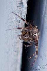 Araignée Macro (Christian Picard) Tags: paris france macro silver garden de french spider photo nikon photographie gray jardin christian lumiere argent picard araignée naturelle dargent d90 grise macrophotographie
