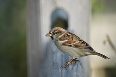 House Sparrow - Male, North Pond, Chicago IL, 100212 (SteveJnerChicago) Tags: chicago nature birds minolta sony a77 500f80