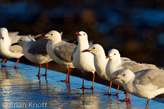 Morning Gathering (Forget Me Knott Photography) Tags: africa reflection bird water pool southafrica town infinity wildlife gull south flock cape bathing hartlaub brianknott forgetmeknottphotography fmkphoto