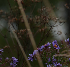 (Fransois) Tags: flowers fall field fleurs automne dof haiku bokeh qubec oka champ vergerettes