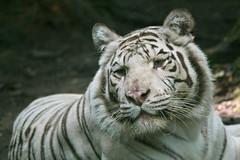 IMG_6860 (Brooke E. Walker) Tags: animal cat stripes tiger bigcat whitetiger