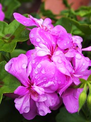 After the rain... (lindscatt) Tags: pink flowers flower color colour green water floral rain droplets drops spring colorful purple bright pinkflower flowering colourful showers waterdroplets purpleflower flowercloseup raindroplets flowerbokeh wonderfulworldofflowers hennysgardens