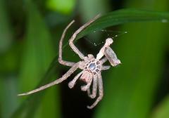 Brown Huntsman Ephemera (aeschylus18917) Tags: macro nature japan tokyo spider nikon arachnid ephemera   molt  nerima pxt arachnida araneae 105mm nerimaku 105mmf28   shakujikoen sparassidae   exuvium 105mmf28gvrmicro brownhuntsmanspider d700 nikkor105mmf28gvrmicro  shakujipark  nikond700  danielruyle aeschylus18917 danruyle druyle   shakujiiken heterapodavenatoria