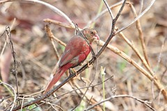 Juvenile Crimson Finch Feeding (Janis May) Tags: foggdam crimsonfinch
