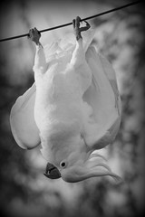 Just hanging around...... [Explored] (loobyloo55) Tags: white bird nature fauna canon wildlife explore cockatoo floraandfauna explored