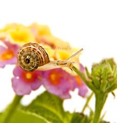 Caracol (MaRuXa fotografía) Tags: flores macro verde canon rosa amarillo caracol maruxa