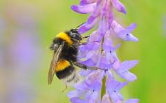 hummel/bumblebee (macro) (be there...) Tags: bumblebee hummel trzmiel owad insekt blume wiese kwiat