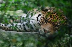 Jaguar (Scholt's) Tags: tches regard yeux eyes nikon d7000 animal flin perse france centre zoo parc animalier beauval zoobeauval big cat green vert feuilles jaguar
