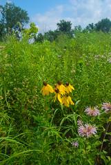 Meadow (wackybadger) Tags: grass wisconsinstatenaturalarea nikon purple flower yellowconeflower meadow buffalocounty ratibidapinnata monardafistulosa nikon1855mmf3556gafsvr wisconsin trempealeaurivermeadowsna sna346 yellow wildbergamot nikond60