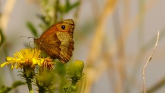 Butterfly (Yasmine Hens) Tags: papillon butterfly fleur flower bloem blum jaune yellow orange macro hensyasmine hens yasmine flickr namur belgium wallonie europa