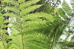 Fern Trees, Rotorua (sharaont) Tags: ferntree rotorua newzealand tepuia fern trees