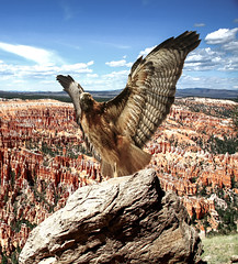 bird on the rock (kmanflickr) Tags: raptor amphitheater brycecanyon